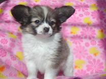 可愛い子犬のパピヨン
